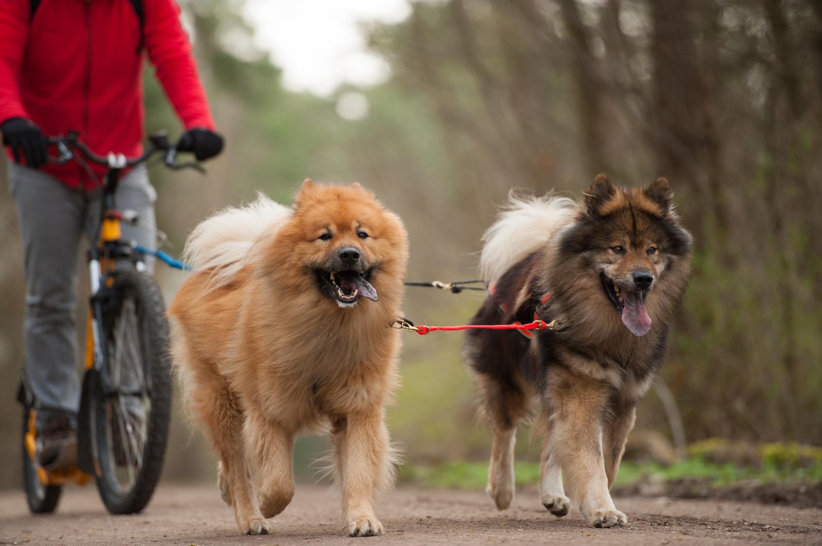 Zughundesport mit Gespann
